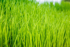 Rice seedlings were grown to a spike. Rice seedlings were grown to a spike close up Stock Photography