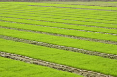 The rice seedlings what farmers cultivated. Stock Photo