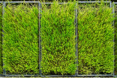 Rice seedlings Royalty Free Stock Photo