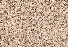 Rice seeds. Jasmine rice  seeds from thailand Stock Image