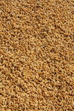 Rice seeds Stock Photos
