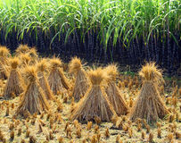 Rice sheaf after harvest on the field Stock Images