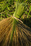Rice sheaves after harvest Stock Photo