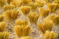 Rice sheaves after harvest Royalty Free Stock Photos