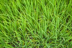 Rice shoots in early spring Royalty Free Stock Photo