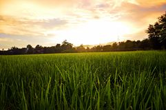 Rice sky. In my heart Royalty Free Stock Images