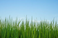 Rice and sky. Rice is the staple food of Asians and economic plants of Thailand Royalty Free Stock Image