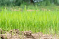 Rice and soil cultivation. Stock Photo