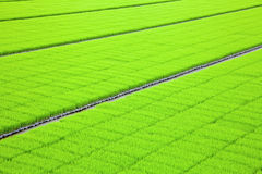 Kärna ur för Rice Arkivfoto