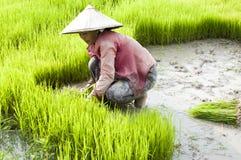 Rice som transplanterar i Laos Royaltyfri Foto
