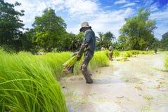 Rice som transplanterar i Siem Reap, Cambodja Arkivbilder