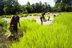 Rice som transplanterar i Siem Reap, Cambodja Fotografering för Bildbyråer