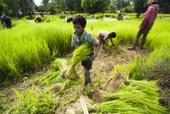 Rice som transplanterar i Siem Reap, Cambodja Royaltyfri Foto