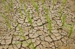 Rice som växer på torkaland Royaltyfri Bild