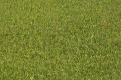 Rice sparad bakgrund Royaltyfri Bild