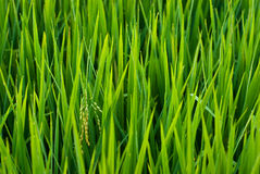 Rice spica in a field. Young and green rice spica Royalty Free Stock Image