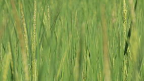 Rice spike in the farm stock video footage