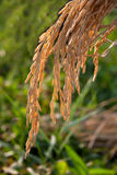 Rice spike Royalty Free Stock Image