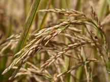 Rice spike in rice. Rice spike in rice field Royalty Free Stock Photo