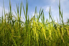 Rice spike in rice field of thailand. Rice spike in rice field Royalty Free Stock Photography