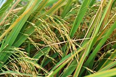 Rice spike grain harvest is waiting. In afternoon Stock Photography