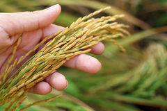 Rice spike grains in hands. Rice spike grains on hand in  farm Royalty Free Stock Photos