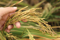 Rice spike grains in hands. Rice spike grains on hand in  farm Stock Photos
