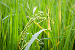 Rice spike Stock Image