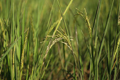 Rice spike in the paddy field Royalty Free Stock Photo