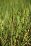 Rice spike in the paddy field Royalty Free Stock Images
