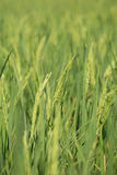 Rice spike in the paddy field Royalty Free Stock Image