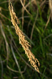 Rice spike, ear of rice. Rice spike or ear of rice is a part of rice crops, they are many seed Stock Image
