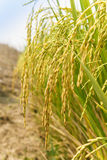Rice spike in rice field Stock Image