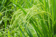 Rice spike in rice field. Stock Photography