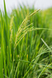 Rice spike in rice field. Royalty Free Stock Image