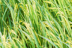 Rice spike in rice field. Royalty Free Stock Photo