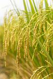 Rice spike in rice field. In countryside Royalty Free Stock Photo