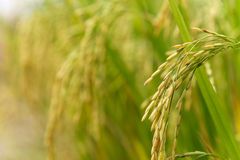 Rice spike in rice field. In countryside Stock Photos