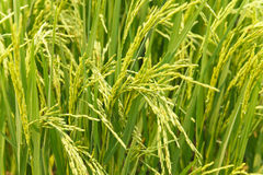 Rice spike in rice field. In countryside Royalty Free Stock Photography