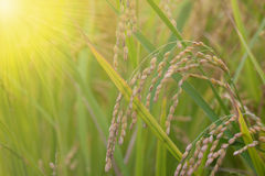 Rice spike in rice field. Stock Photos