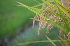 Rice spike in rice field. Royalty Free Stock Images