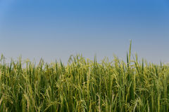 Rice spike in rice field in Thailand. Royalty Free Stock Images