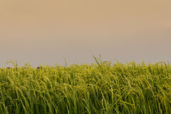 Rice spike in rice field in Thailand. Royalty Free Stock Photography