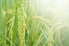 Rice spike with water drop in rice field. Rice spike with water drop in rice field on the morning.Selective focus Royalty Free Stock Photography