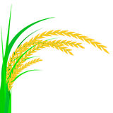 Rice. Spikelet of rice on a white background. Vector illustration. Royalty Free Stock Image