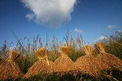 Rice spikes on the rice field. With the blue sky Stock Images