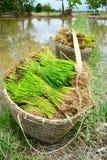 Rice spirar i lantgård av thailand Arkivbilder