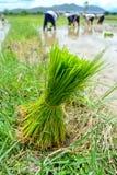 Rice spirar i lantgård av thailand Fotografering för Bildbyråer