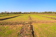 Rice sprout growing in the field Stock Photography