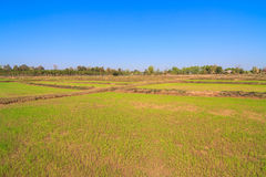 Rice sprout growing in the field Stock Images